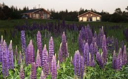 Amherst Shore Suites and Lupines